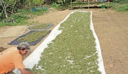 World's largest stevia factory will start operations in Piura-Peru